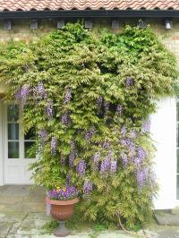 Wisteria growing up the side of a house