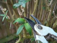 Secateurs pruning a bush
